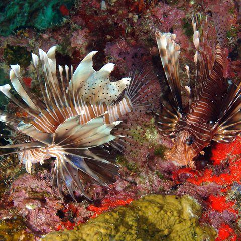 Feuerfisch in der bunten Unterwasserwelt, Seychellen