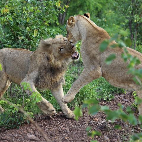 Streitende Löwengeschwister im Hwange Nationalpark, Simbabwe