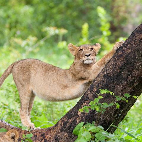 Junger Löwe © Thinkstock, iStockphoto