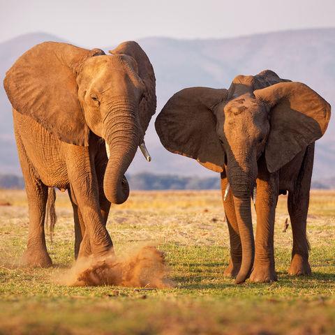 Tobende Elefanten in der Nähe der Mana Pools, Simbabwe