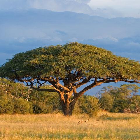 Afrikanische Akazie in der Steppe, Simbabwe