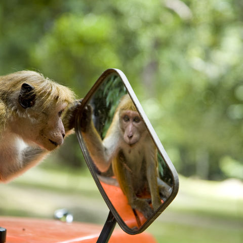 Neugieriger Affe, Sri Lanka