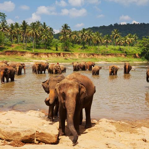 Beim Wasserbad einer Elefantenherde zuschauen, Sri Lanka