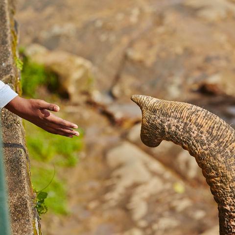 Elefantenrüssel und Kinderhand, Sri Lanka