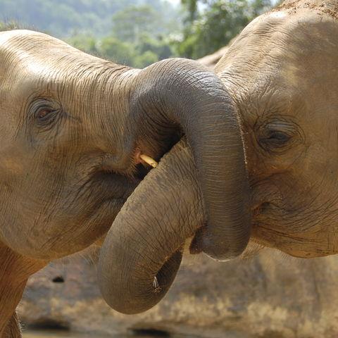 Kuschelnde Elefanten © Thinkstock