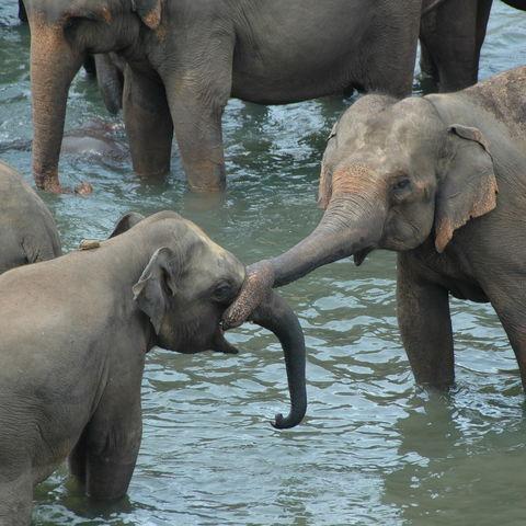 Elefanten beim spielen, Sri Lanka