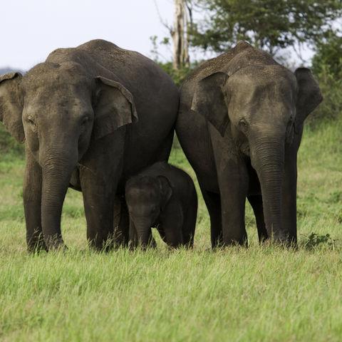 Elefantenfamilie, Sri Lanka