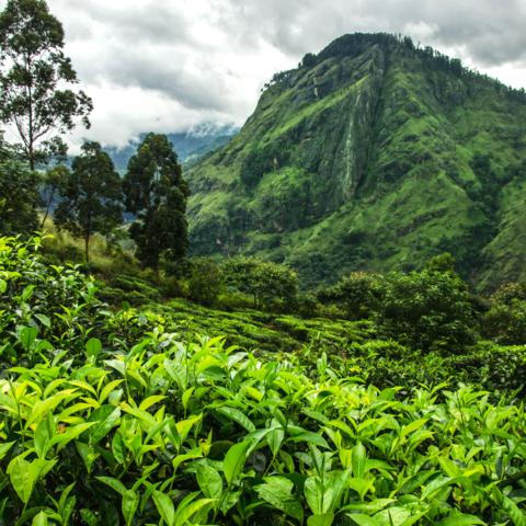Teeplantagen rund um den Little Adam's Peak, Ella, Sri Lanka