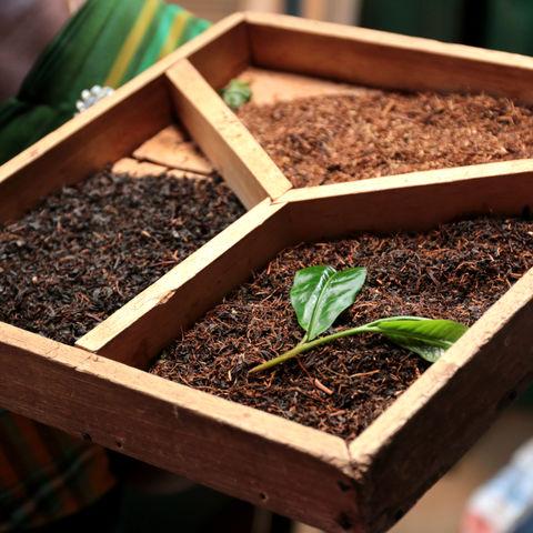 Von der Pflanze zur Teemischung: Grüner Tee, Sri Lanka