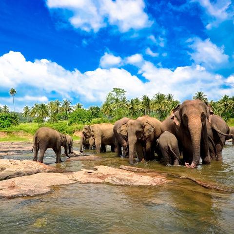Eine Elefantenherde trinkt am Fluss © Surangaw, Dreamstime.com