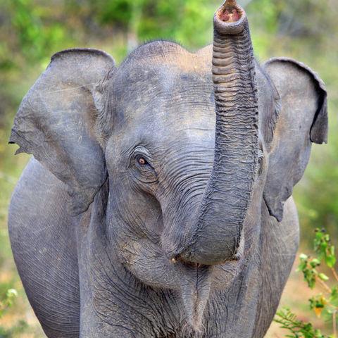 Frecher Elefant, Sri Lanka