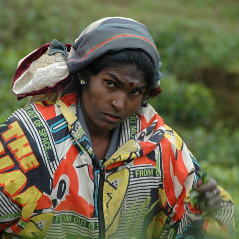 Teepflückerin im Hochland, Sri Lanka