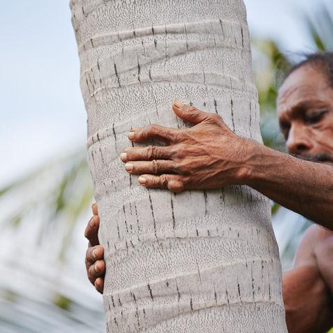 Kokosnuss-Ernte, Sri Lanka