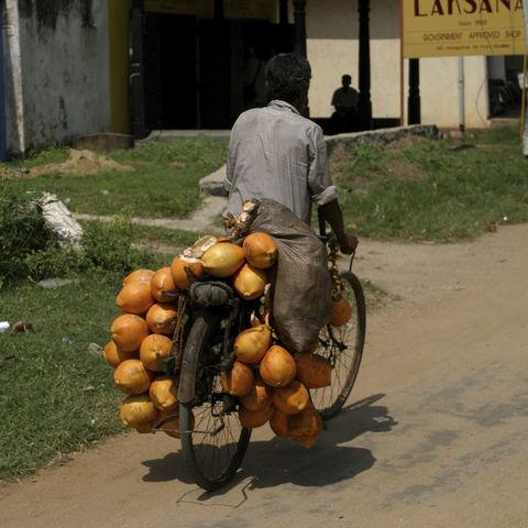 Kokosnuss-Transport per Fahrrad, Sri Lanka
