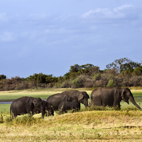 Elefantenherde im Minneriya-Nationalpark, Sri Lanka