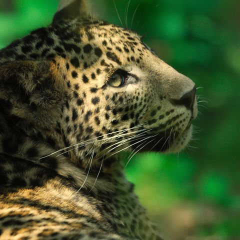 Leopard im Nationalpark, Sri Lanka