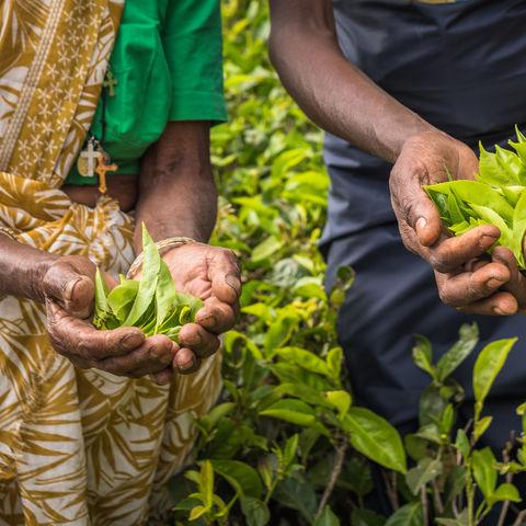 Teepflückerinnen in Nuwara Eliya, Sri Lanka
