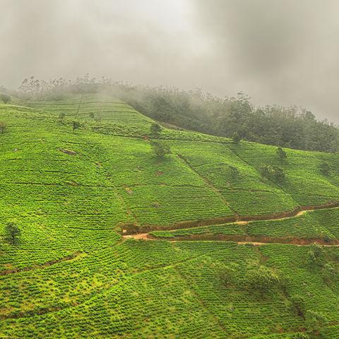Teeplantagen nahe Nuwara Eliya, Sri Lanka