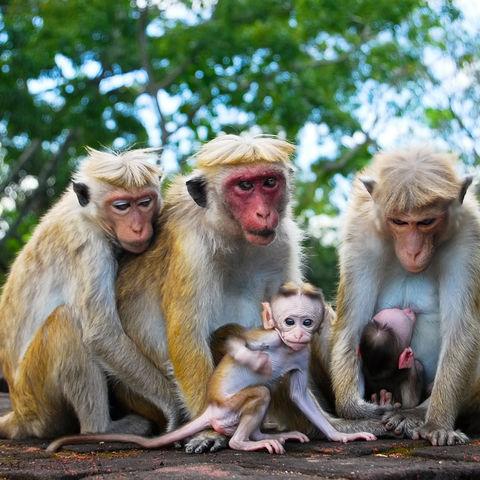 Affenfamilie, Sri Lanka