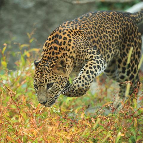 Auf der Pirsch: ein Sri Lanka Leopard, Sri Lanka