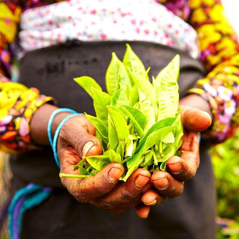 Frischer Tee in den Händen einer Frau © Jaromir Chalabala, Dreamstime.com
