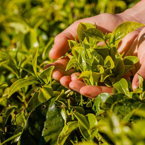 Selbstgepflückter Tee, Sri Lanka