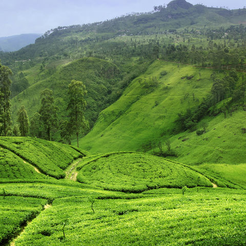 Das satte Grün der Teehänge, Sri Lanka