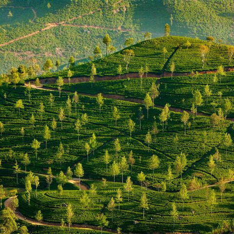 Das Grün der Teehügel, Sri Lanka
