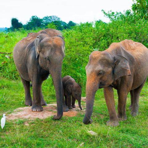 Elefantenfamilie im Udawalawe-NP, Sri Lanka