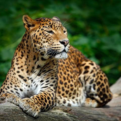 Leopard im Yala Nationalpark © Ondřej Prosický, Dreamstime.com
