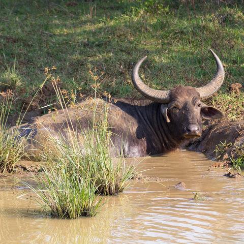 Wasserbüffel im Yala-Nationalpark, Sri Lanka