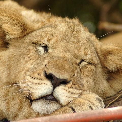 Auch kleine Löwen brauchen ihren Schönheitsschlaf, Südafrika