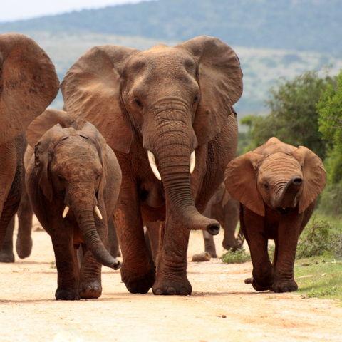 Elefantenherde im Addo Elephant Nationalpark, Südafrika
