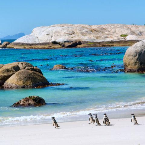 Begegnungen mit Pinguinen am Boulders Beach © Photosky, Dreamstime.com #TITEL 1: Wettrennen am Strand… #TITEL 2: Brillenpinguine am Boulders Beach bei Kapstadt