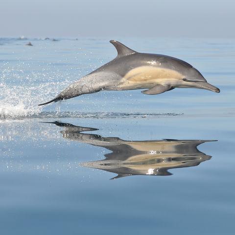 Springender Delfin, Südafrika