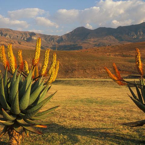 Kakteen mit gelben Blüten und den Drakensbergen im Hintergrund, Südafrika