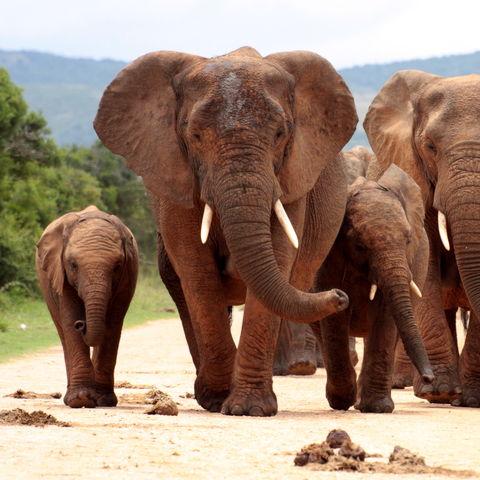 Elefantenherde im Addo Elephant Nationalpark, Eastern Cape, Südafrika