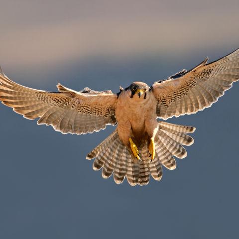 Falke im Flug, Südafrika