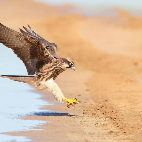 Falke bei der Landung, Südafrika