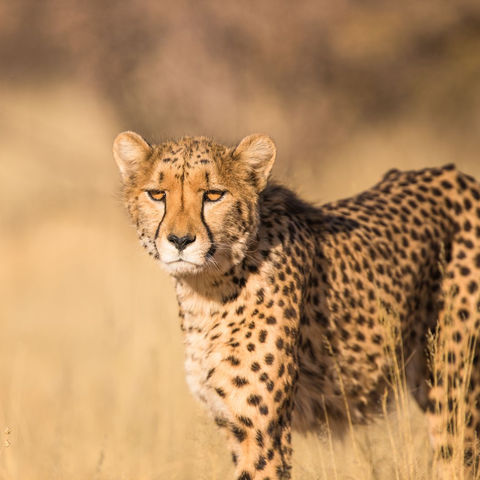 Gepard auf der Lauer, Südafrika