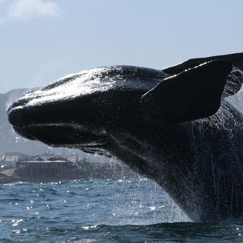 Ein majestätischer Wal and der Küste von Hermanus, Südafrika