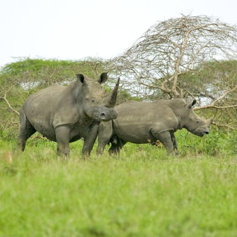 2 weiße Nashörner im Hluhluwe iMfolozi Park, Südafrika