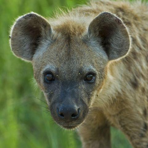 Südafrikanische Hyäne, Südafrika