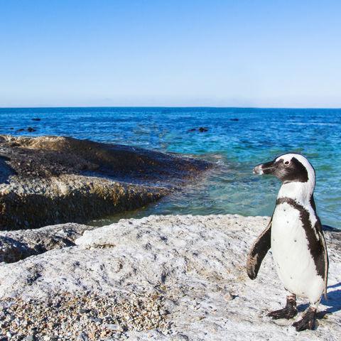 Nicht der einzige Pinguin, der am Boulders Beach umherwatschelt..., Südafrika