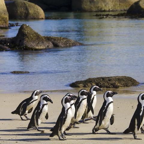 Pinguine am Strand von Kapstadt, Südafrika