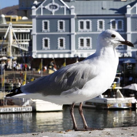 Seemöwe an der V&A Waterfront in Kapstadt, Südafrika