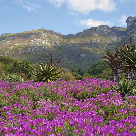 Botanischer Garten in Kirstenbosch, Südafrika