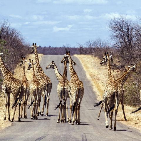 Giraffenherde im Krüger Nationalpark © Patrice Correia, Dreamstime.com