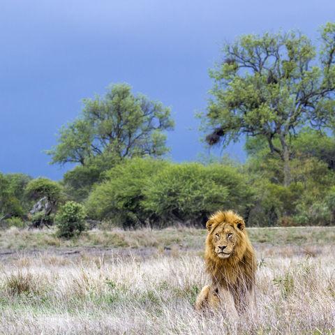 Löwe im Krüger Nationalpark, Südafrika