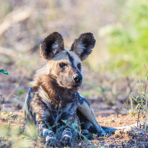 Wilder Hund im Krüger Nationalpark, Südafrika